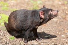 Tasmanischer Teufel, Sarcophilus harrisii lizenzfreie stockfotografie