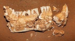 Tasmanisches altes Fossil des Tigers sehr stockfoto