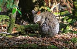 Tasmanisches Pademelon Lizenzfreies Stockfoto