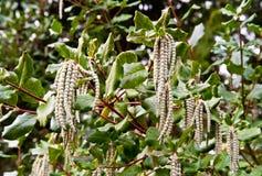 tassel bush стоковые фото