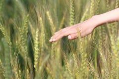Tassel do trigo da sensação Fotos de Stock