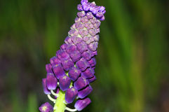 Tassel Grape Hyacinth Stock Photos