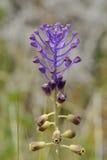 Tassel Hyacinth Royalty Free Stock Image