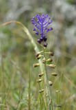 Tassel Hyacinth Royalty Free Stock Images