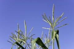 Tassel corn tops Stock Image