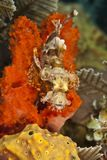 Tasseled Scorpionfish Royalty Free Stock Photo