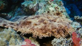 A Tasseled wobbegong Eucrossorhinus dasypogon uses its pattern, color, and body shape to camouflage itself on a coral reef floor royalty free stock image