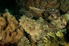 tasseled wobbegong för haj Royaltyfria Bilder