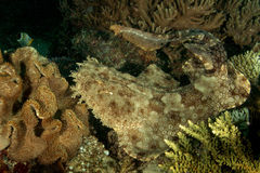 Tasseled wobbegong shark Royalty Free Stock Images