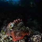 Tasseledscorpionfish, Scorpaenopsis-oxycephala royalty-vrije stock afbeelding