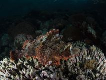 Tasseledscorpionfish, Scorpaenopsis-oxycephala stock afbeelding