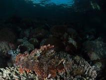 Tasseledscorpionfish, Scorpaenopsis-oxycephala stock foto's