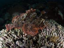 Tasseledscorpionfish, Scorpaenopsis-oxycephala stock foto