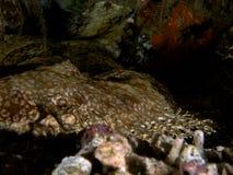 Tasselled wobbegong lying in ambush, Raja Ampat, Indonesia. Tasselled wobbegong lying in ambush, Raja Ampat, Wonderful Indonesia stock image