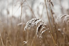 Tassels of dry grass. Growing near the lake shore in the winter season, the plant is covered with white snow, a photo during the snow royalty free stock image