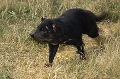 Tassie Devil 01. Young Tasmanian Devil running in the grass stock photo