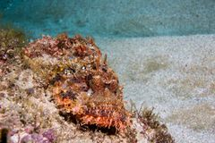 Tassled Scorpionfish laying on the reef . Tassled Scorpionfish laying on the reef camouflaging itself with sand in the background Stock Images