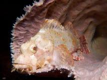 Tassled scorpionfish in pink sponge Royalty Free Stock Photos