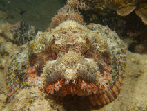 Tassled scorpionfish Stock Photo