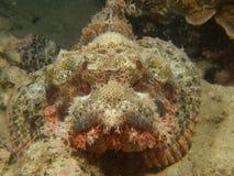 Tassled scorpionfish Stock Photo