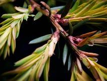 Tasso-albero Fotografia Stock