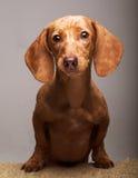 Tasso del cucciolo Immagini Stock Libere da Diritti