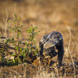 Tasso di miele nel parco nazionale di Kruger, Sudafrica Fotografia Stock Libera da Diritti