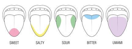 Free Taste Areas Human Tongue Colors Illustration Royalty Free Stock Image - 107636696