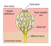Taste bud anatomy. Vector drawing of the anatomy of a taste bud, showing detail of the taste receptor cell Stock Photos