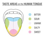 Taste Buds Colored Tongue Chart. Taste areas of the human tongue - colored division with zones of taste buds for bitter, sour, sweet, salty and umami perception Royalty Free Stock Photos