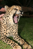 Taste for life, stroke a cheetah Royalty Free Stock Photos