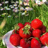 Taste of summer. Strawberry vitamins for good Royalty Free Stock Photos