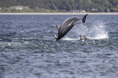 Happy, playful wild dolphins royalty free stock images