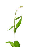 Tasteless water-pepper (Persicaria dubia). Colorful and crisp image of tasteless water-pepper (Persicaria dubia Royalty Free Stock Image