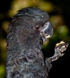 Tastes good black cockatoo eating Royalty Free Stock Photography