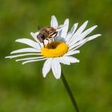 Tasting Pollen Royalty Free Stock Photos