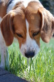 Tasting the weeds. Young beagle tasting the weeds Royalty Free Stock Photos
