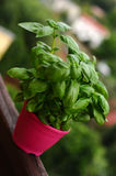 Tasty basil, fresh herb in pink pot. Image of a basil in pink pot Royalty Free Stock Images