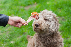 Tasty bone & Dog waiting for his lunch Stock Images
