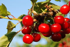 Tasty cherries Stock Photography