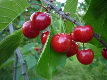 Tasty cherries Royalty Free Stock Photo