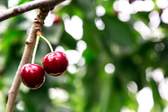 Tasty cherries sweet cherries Royalty Free Stock Photo