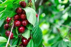 Tasty cherries sweet cherries Royalty Free Stock Images