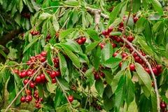 Tasty cherries sweet cherries Stock Photography