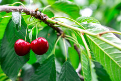 Tasty cherries sweet cherries Stock Photo