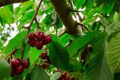 Tasty cherries sweet cherries Royalty Free Stock Image