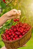 Tasty cherries in a wooden basket hold female hands in blurred background stock images