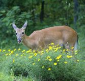 Tasty flowers. Whitetail deer licking its lips after flowers royalty free stock images