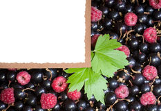 Tasty fresh raspberry and currant. With white banner Royalty Free Stock Photography