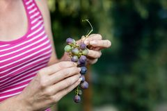 Tasty grapes in a woman& x27;s hand. Ripe fruits straight from the bu stock image